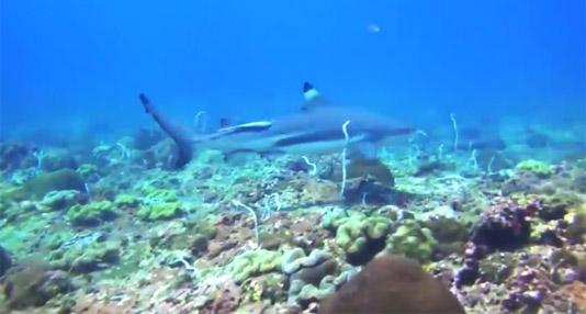 Fun Finn Fact: Blacktip Reef Shark